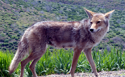 World War II Veteran Saves Coyote With His Bare Hands