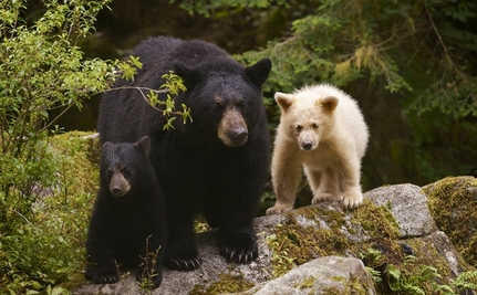 The Spirit Bear Coast: No Place for Big Oil