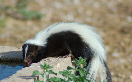 Birdwatchers Grab Skunk with Head Sealed in Jar: How They Saved a Life