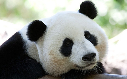 Giant Pandas Sweetie And Sunlight Ready To Make Brits Swoon