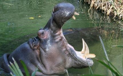 """Pet"" Hippo Mauls Farmer"
