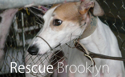 Brooklyn the Greyhound will Die Without Our Help