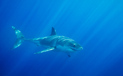 Victory! Australian Sharks Safe From Cull