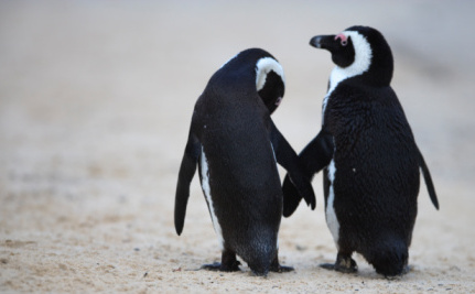 "UPDATE: Toronto Zoo Says It Will Reunite ""Gay"" Penguins In The Spring"