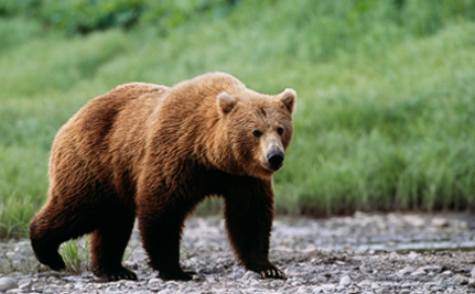 "Yellowstone Grizzlies To Stay On ""Threatened"" List"
