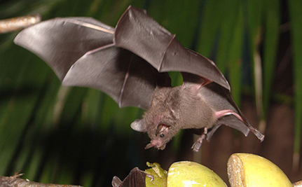 Raising An Orphaned Fruit Bat By Hand – VIDEO