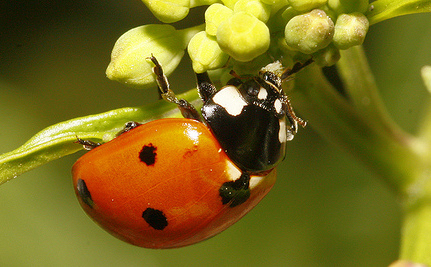 Nine-Spotted Ladybug Sighted After 29 Years (video)