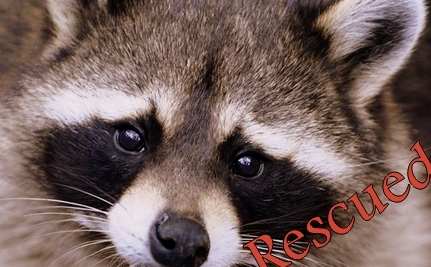 Red Hot Raccoons Saved by Sub Shop Superhero