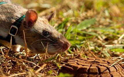 An Army of Giant Rats Unearth Landmines in Africa
