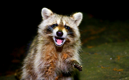 """""""I Must Free His Leg"""": Raccoon's Only Hope is Brave Rescuer"""