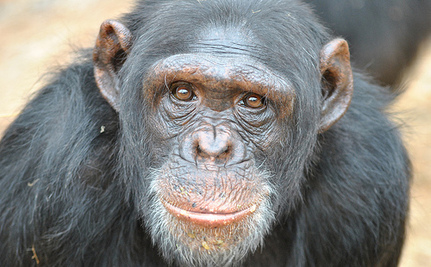 Make a Call for Chimps Today!