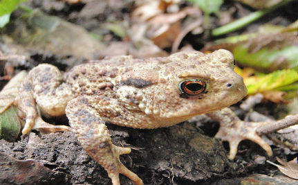 Toad Behavior May Help Predict Earthquakes