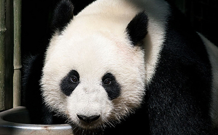 Scotland Paying China $10 Million For Two Giant Pandas – VIDEO