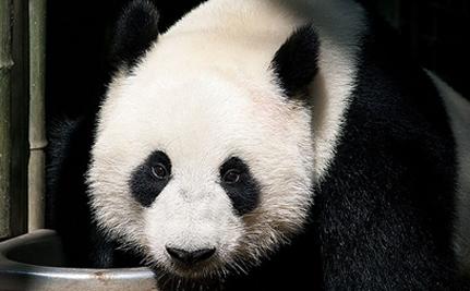 Scotland Paying China $10 Million For Two Giant Pandas – VIDEO