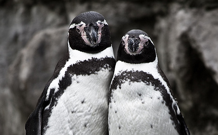 Bonded Male Penguins Given Chick to Raise