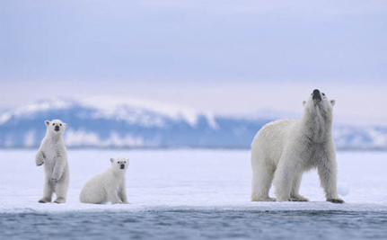 More Polar Bears Turn to Cannibalism to Avoid Starvation