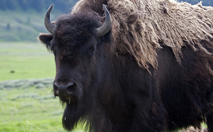 Victory! Genetically Pure Bison Saved From Slaughter