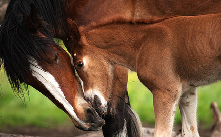Horse Slaughter Legalized in U.S.
