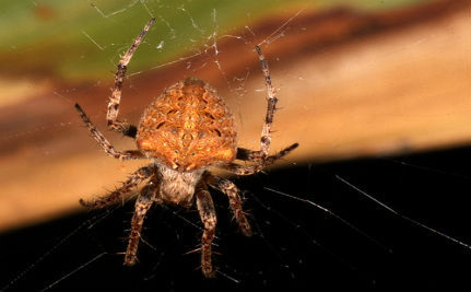 Tiny Spiders' Brains Bulge Out Into Their Legs
