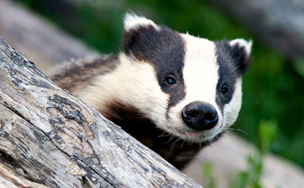 UK Badgers To Be Killed In Plan To Protect Cattle