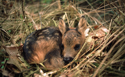 End Cruelties of Scottish Deer Cull