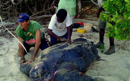 butchers pull 1 000 sea turtle from sea how rescuers saved her