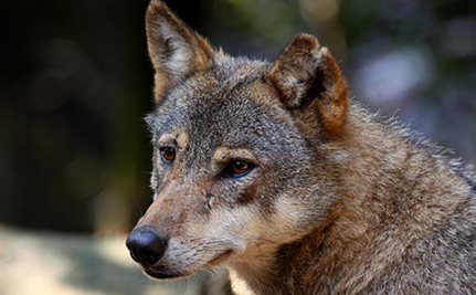 First Gray Wolf In 80 Years Spotted In California