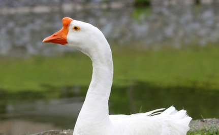 Gentle Goose Rescued & Returned to Pond: Witnesses Can't Believe Their Eyes