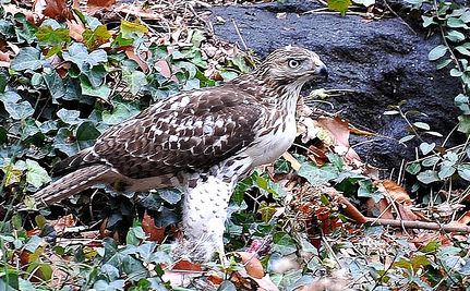 Violet, New York's Red-Tailed Hawk, Dies