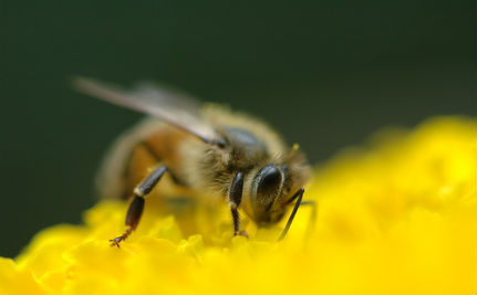 Parasite Drives Honey Bees
