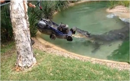Australian Crocodile Plays with Lawnmower
