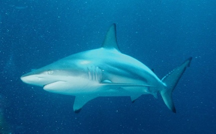 First Hybrid Sharks Found off Australia
