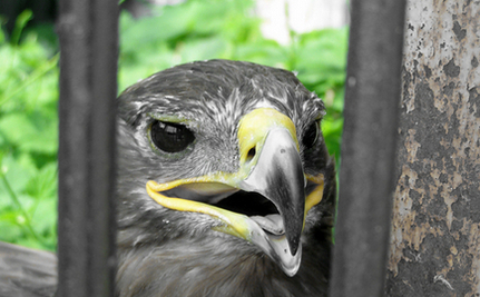 Hawk Rescued from Attacking Dogs and Rosebush