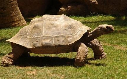 'Extinct' Giant Galapagos Tortoise Still Plodding?