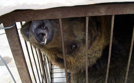 Ban Bear-Bile Farming in China and Laos