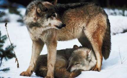 Oppose Wyoming's Shoot-On-Site Wolf Management Plan