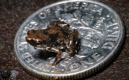 Tiny Frog Crowned World's Smallest Vertebrate Species