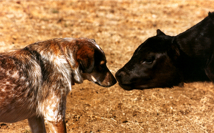 Cows Surround Puppy: Wondrous Scene (VIDEO)