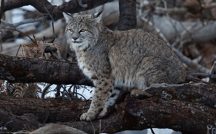 Wildlife Official Shocks Board With Trapped Bobcat Video