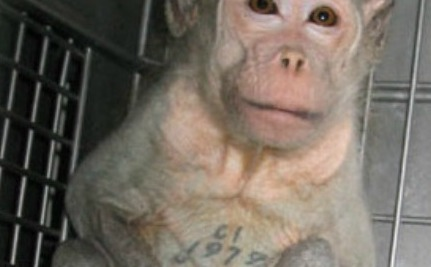 Lab Monkey Left in Cage, Boiled Alive