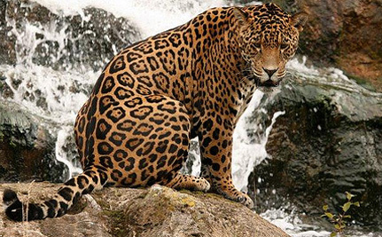 Jaguars Are Threatened by Copper Mining – Take Action!