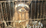 Raccoon in Watery Prison: Watch His Rescued Bliss