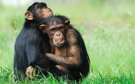 Endangered Status Being Considered for Captive Chimps