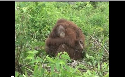Terrified Orangutans Saved from Hunters (VIDEO)