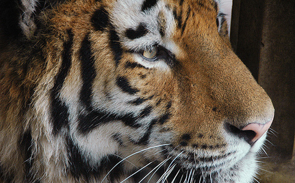 Chinese Pitch In To Clear Tiger Snares