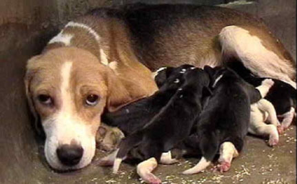 Victory! Plans to Breed Beagles for Research Stopped