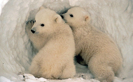 Time to Stop Canada's Polar Bear Hunt