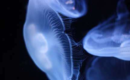 Are Jellyfish Taking Over the World's Oceans?