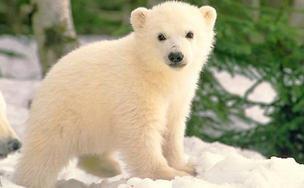 Polar Bear Cub Attacked By Mom Survives, Appears In Public (Video)
