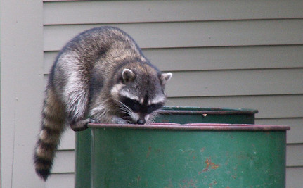 Are Humans Making Raccoons Smarter?